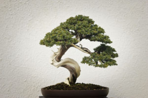 Bonsai plant picture